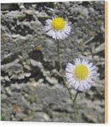 Daisy Fleabane Flowers Wood Print