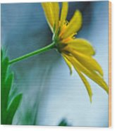 Daisy In The Breeze Wood Print