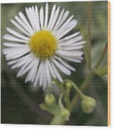 Daisy In White Wood Print
