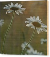 Daisy Sunset Wood Print