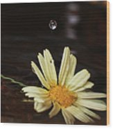 Daisy With Water Droplet Wood Print