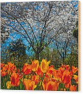 Dallas Arboretum Tulips And Cherries Wood Print