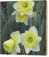 Dallas Daffodils 08 Wood Print