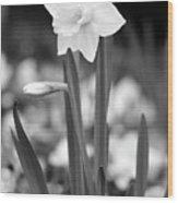 Dallas Daffodils 53 Wood Print