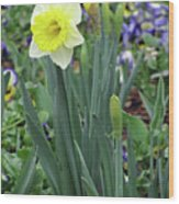 Dallas Daffodils 63 Wood Print