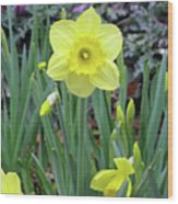 Dallas Daffodils 83 Wood Print