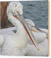Dalmatian Pelican #3 Wood Print