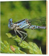 Damselfly Wood Print