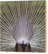 Dancing Peacock, Kanha National Park Wood Print
