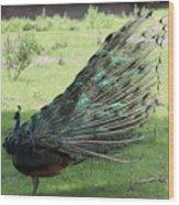 Dancing  Peacock Wood Print