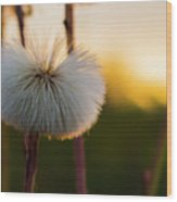 Dandelion At Sunset Wood Print