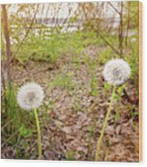 Dandelion Close To The River Wood Print