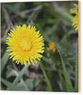 Dandelion Flower Wood Print