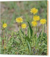 Dandelion Flowers Wood Print