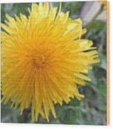 Dandelion In Bloom Wood Print