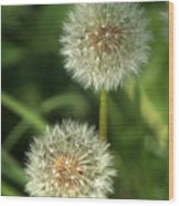 Dandelion Seed Heads Wood Print