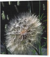 Dandelion Seedball Wood Print