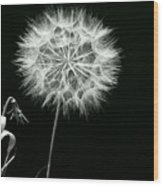 Dandelion Thirty Six Wood Print