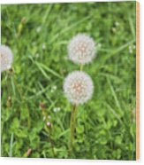 Dandelions In Connecticut Wood Print
