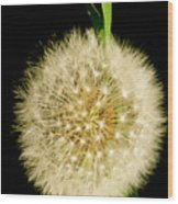 Dandelion's Seed Head. Wood Print