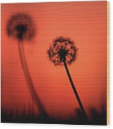 Dandelions Silhouettes At Sunset Wood Print