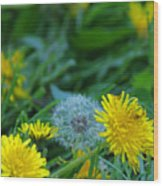 Dandelions, Young And Old Wood Print