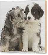 Dandy Dinmont Terrier And Border Collie Wood Print