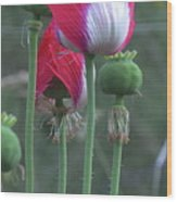 Danish Flag Papaver Somniferum Opium Poppies - Flowers And Pods Wood Print