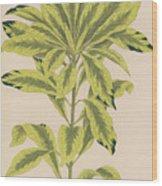 Daphne Mazereon Variegata Wood Print