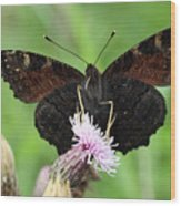 Dark Knight Dark Side Of A Peacock Butterfly In Ireland Wood Print