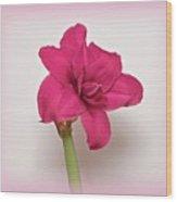 Dark Pink Amaryllis Wood Print