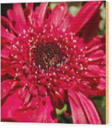 Dark Red Gerbera Daisy Wood Print