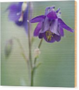 Dark Violet Columbine Flowers Wood Print