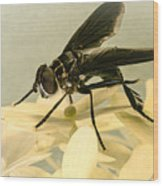 Dark Winged Comb Footed Fly Wood Print