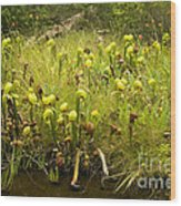 Darlingtonia Plants Grow Beside Wood Print