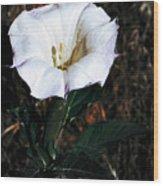 Datura Blossum Wood Print