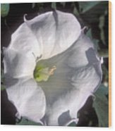 Datura Lily Wood Print