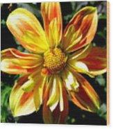 Dazzling Dahlia Photograph Wood Print