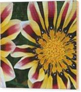 Dazzling Gazania Wood Print
