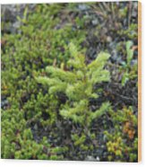 Ddp Djd Spruce Seedling 16 Wood Print