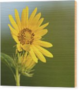 Ddp Djd Sunflower 2639 Wood Print