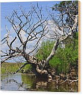 Dead Cedar Tree In Waccasassa Preserve Wood Print