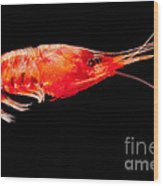 Deep Sea Shrimp Wood Print