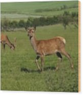 Deers On A Hill Pasture. Wood Print
