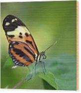 Delicate Butterfly Wood Print