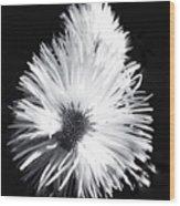 Delicate Fleabane Daisy Wood Print