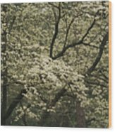 Delicate White Dogwood Blossoms Cover Wood Print