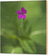 Deptford Pink Dianthus Flower Wood Print