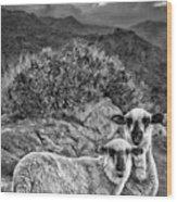 Desert Sheep Wood Print