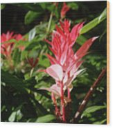 Devils Blush - Australian Native In Blue Mountains Wood Print